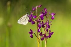orchidej-bg-anacamptis-laxiflora-2017-05-26-FB-01