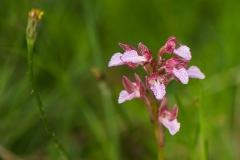 orchidej-bg-anacamptis-papilionacea-2017-05-26-FB-02
