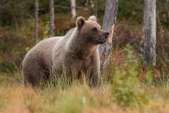 medved-hnedy-02