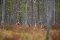 medved-hnedy-03