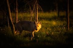 vlk-obecny-2019-07-08-FB-02