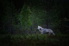 vlk-obecny-2019-07-08-FB-03