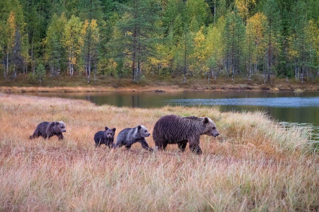 Tento obrázek nemá vyplněný atribut alt; název souboru je medved-hnedy-2019-09-14-FB-01-1024x683.jpg.
